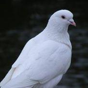 A Dove's Love, Lorton VA
