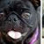 Kentuckiana Pug Rescue -KPR, Indianapolis IN