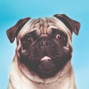 Designer Pug - Digital Creative Agency, North York ON