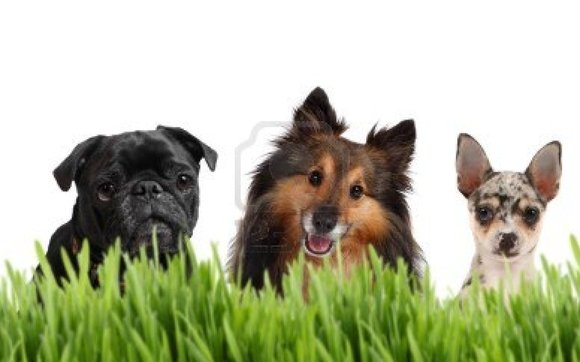 1396543294 9006047 a group of small dogs on a white background behind grass with a chihuahua sheltie and a pug