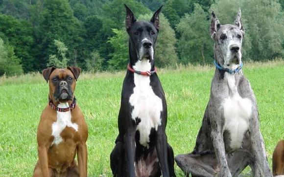 1396543288 90534 800x600 really big dogs