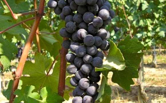 1413753738 grapesonthevine