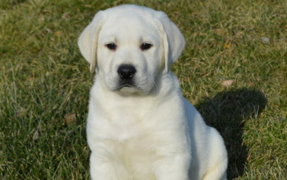 We Provide Quality Akc Labrador Retriever Puppies And Also Akc Shih