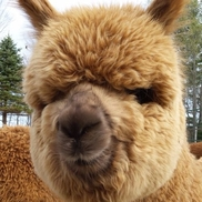 Matthew Varrell from Harvard Alpaca Ranch